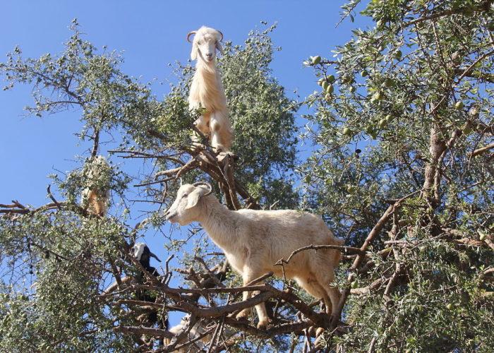 Goat Argan Tree Morocco